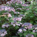 倉敷安養寺の紫陽花